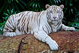 256px-White-tiger-2407799_1280